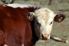 Hereford Cow. Hereford steer portrait during drought royalty free stock photos