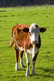 Hereford cow Royalty Free Stock Images