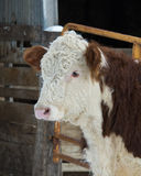 Hereford Cow Stock Images