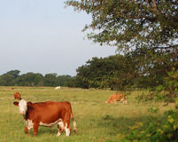 Hereford Cow. A hereford cow in a field with tree stock photo