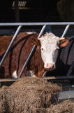 Hereford cow. Hereford bullock eating hay in cowshed royalty free stock photo