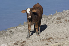 Hereford Cow Calf By Pond (Bos taurus). Brown and white cow calf standing by pond with a sandy shore in the background Stock Image