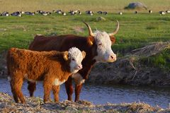 Hereford cow with calf. Young Hereford cow with calf on grassland in summer Royalty Free Stock Photos