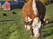 Hereford Cow Stock Photography