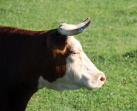 Hereford Cow Closeup Royalty Free Stock Image