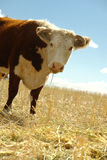 Hereford cow in field with blue sky Royalty Free Stock Photo
