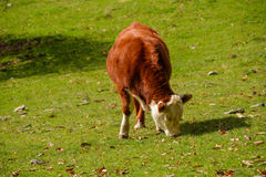 Hereford cow Royalty Free Stock Photo