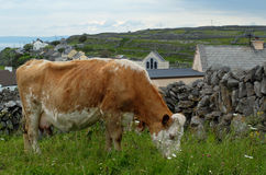 Hereford Cow Grazing on Inishmore Royalty Free Stock Images
