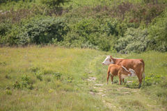 Hereford cow and nursing calf Stock Image