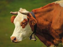 Hereford cow portrait and bell Stock Image
