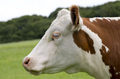 Hereford Cow Royalty Free Stock Image