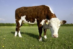 Hereford COw Stock Image