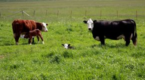 Hereford Cows and Calves stock images