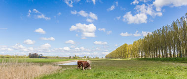 Hereford cows in the dutch landscape outside Groningen Stock Photos