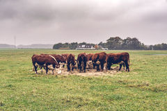 Hereford cows eating hay on a green field. In the fall Royalty Free Stock Image