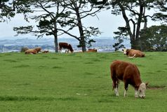 Hereford cows grazing on a green pasture under an overcast sky. Hereford cows grazing or sitting on a green pasture bordered by trees stock images
