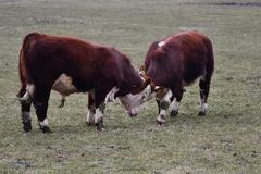 HEREFORD COWS - Young bulls fighting and measuring power stock image