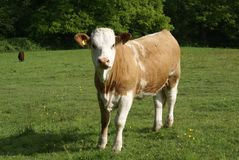 Hereford heifer cow in a field Stock Image