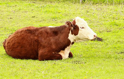 Hereford Heifer Relaxes. A pregnant hereford heifer relaxes on a spring day stock image