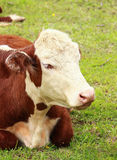 Hereford Heifer Relaxing. A hereford heifer relaxes on a spring day royalty free stock photos