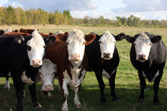Hereford herd Royalty Free Stock Image