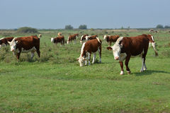 Hereford herd on a pasture. Hereford cattle standing on a green pasture Royalty Free Stock Photography