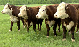 Hereford herd on a pasture Royalty Free Stock Image
