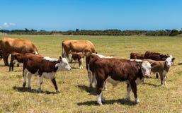 Hereford Herd Stock Image