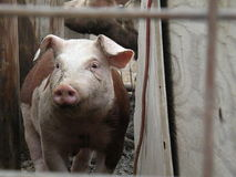 Hereford Hogs Stock Photos