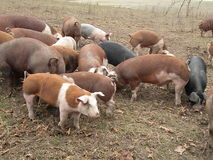 Hereford Hogs. Livestock located at Crooked Gap Farms in Knoxville, iowa in the fall Royalty Free Stock Photography