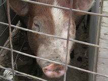 Hereford Hogs Royalty Free Stock Images