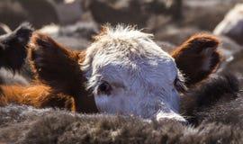 Hereford kalv bland Angus royaltyfri foto