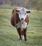 Hereford ko på en Vermont morgon royaltyfri foto