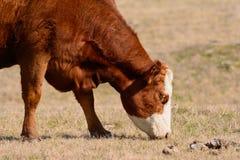 Hereford ko som betar med huvudet ner, medan vända mot till rätten Arkivbild