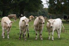 Hereford korsnötkreatur eller flock royaltyfri foto