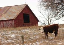 Hereford krowa Fotografia Stock