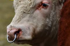 HEREFORD krowa - portret młody byk zdjęcie royalty free