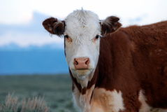 Hereford Kuh Stockfoto
