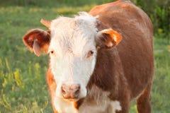 Hereford-Ochse Lizenzfreies Stockfoto