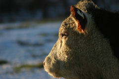 Hereford Profile. Profile of a cow's head, as it stares towards the setting sun Stock Images