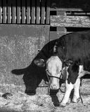 Hereford show calf in BW Royalty Free Stock Photos