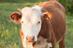Hereford Steer Royalty Free Stock Photo