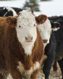 Hereford Steers. Young Hereford Steers in a feed lot stock photography