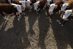 Hereford Vieh Stockbild