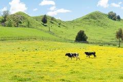Hereford-Vieh auf einem Gebiet der gelben Butterblume Stockbild