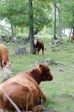 Herefordkoeien op een heuvel stock afbeeldingen