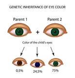 Herencia genética del color del ojo Brown, azul, ojos verdes Foto de archivo