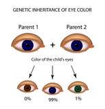 Herencia genética del color del ojo Brown, azul, ojos verdes Infografía Fotos de archivo