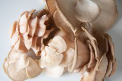 Herencia rosada de las setas de ostra varietal foto de archivo libre de regalías