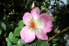 Herencia Rose de Fruhlingsmorgen fotografía de archivo